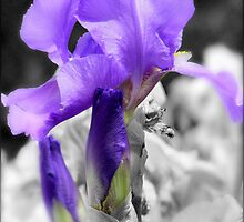 Glowing Purple Iris' by Christina Sauber