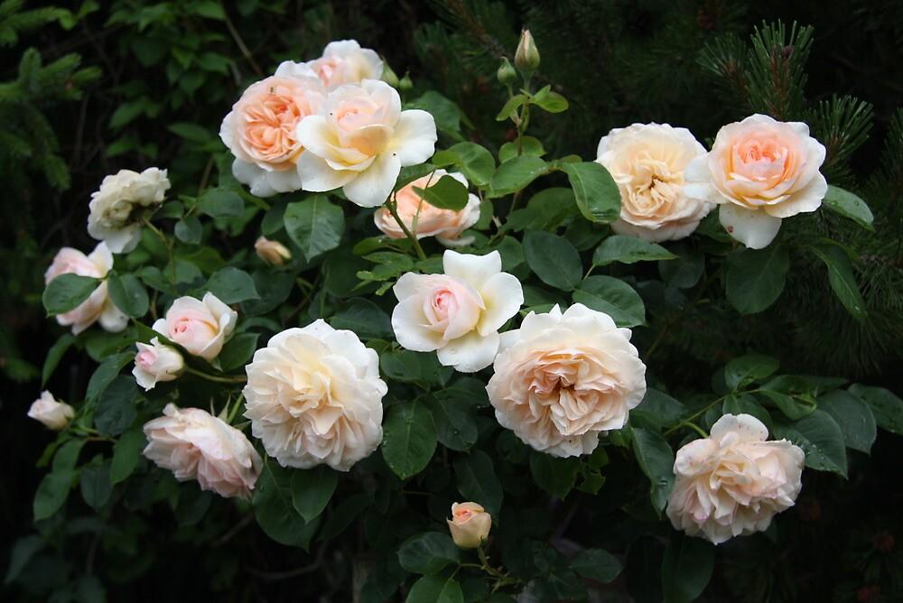 Perdita, David Austin rose tree growing in my garden by eveline