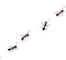 Fire Ants by Arthropodart