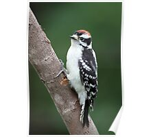 Robust Downy Junior / Downy Woodpecker Poster