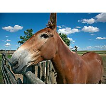 Mule From 1880 Town Photographic Print