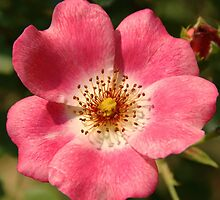 Climbing Rose by marens