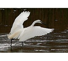 The Little Egret Photographic Print
