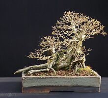 Privet (Ligustrum ovalfolium) Bonsai in Winter Reverse-View by Harry Harrington