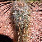 Old Man Cactus by Stormygirl