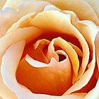 Rosas by saseoche