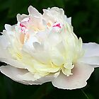 Blushing Bride Peony by Teresa Zieba