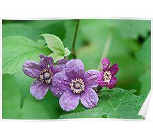 Purple Flowering Rasberry Poster