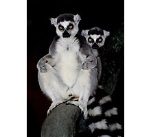 Ring Tailed Lemurs Photographic Print