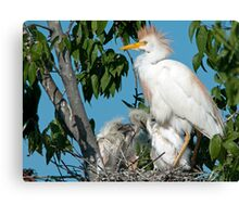 Mother Cattle Egret and Chicks Canvas Print