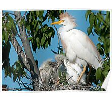 Mother Cattle Egret and Chicks Poster