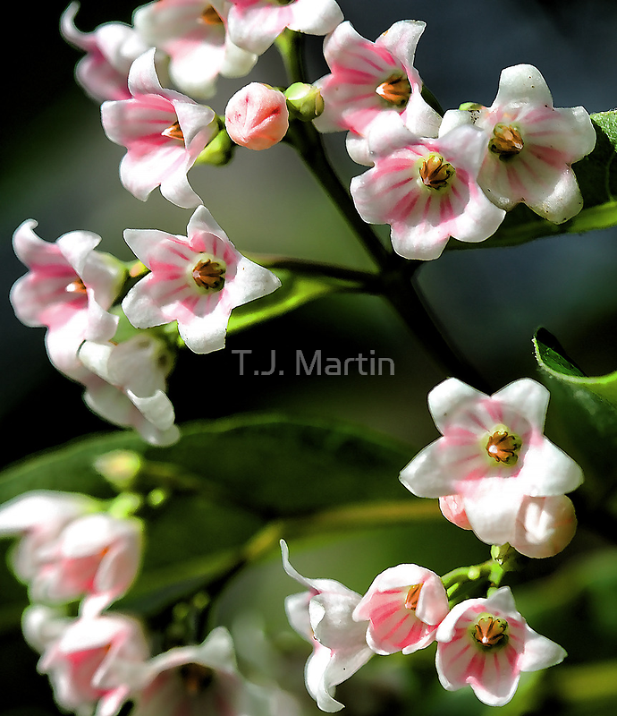 Beautiful Dogbane by T.J. Martin