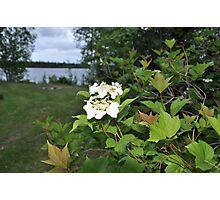 White Flowering tree Photographic Print