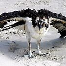 Osprey on the Beach # 1 by Paulette1021