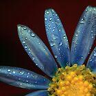 Blue daisy by David Gray