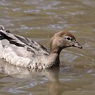 Australian Wood Duck (female) by mosaicavenues