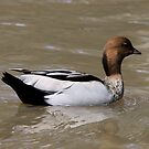 Australian Wood Duck (male) by mosaicavenues