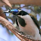 Blue-faced Honeyeater by Kerryn Ryan, Mosaic Avenues
