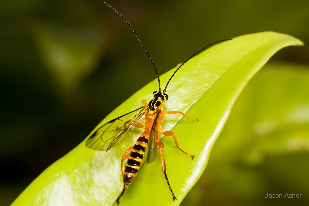 The Yellow-Banded Ichneumon Wasp by Jason Asher