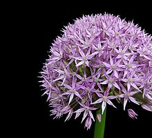 Giant Allium by Kathleen Brant