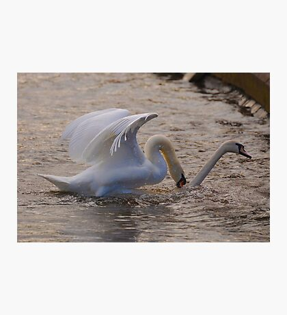 Mating Swans Photographic Print