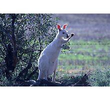 Skippy the white Kangaroo in the Mallee Photographic Print