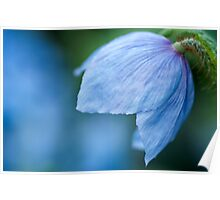 Blue Poppy Flower  II Poster