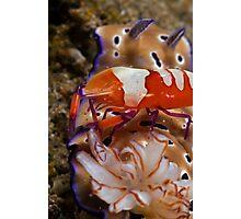 Emperor Shrimp Photographic Print