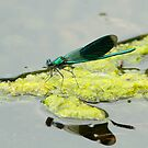 Banded Demoiselle & Reflection by Robert Abraham