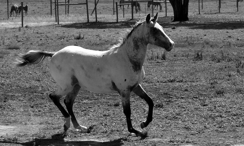 Appaloosa Colt - Black and White by Vikki Shedden Photography