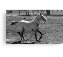 Appaloosa Colt - Black and White Metal Print