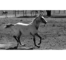 Appaloosa Colt - Black and White Photographic Print