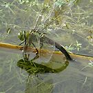 Female Emperor Dragonfly  by angeljootje