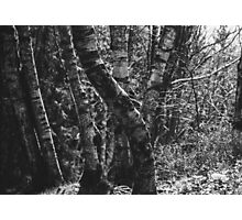 Birch Tree Forest Photographic Print