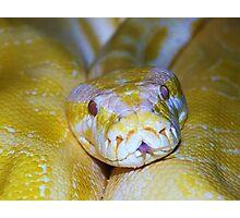 Burmese Python Photographic Print