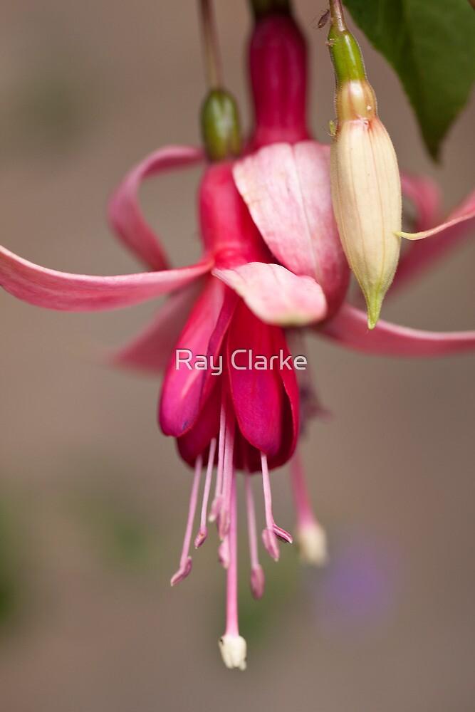 Fuchsia by Ray Clarke