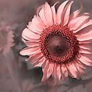 Sunflower in Pink by Charuhas  Images