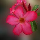 Adenium Flower by Charuhas  Images