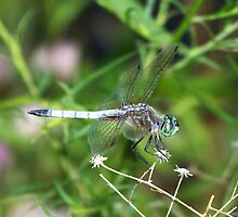 A beautiful male Blue Dasher. by William Brennan