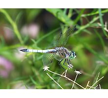A beautiful male Blue Dasher. Photographic Print