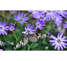 Butterfly lunch - Caper butterfly Photographic Print