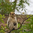 Barbary Monkeys by Elaine123