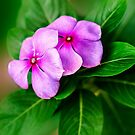 Periwinkle by Charuhas  Images