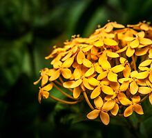 Yellow Ashoka Flowers by Charuhas  Images