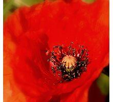 Sweet Secret of a Poppy Photographic Print