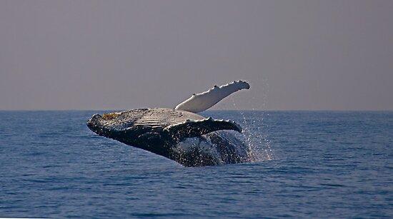 Humpback whale off Tweed Heads, 2009 by Odille Esmonde-Morgan