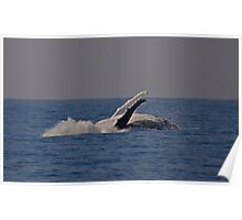 Humpback whale off Tweed Heads, 2009 #2 Poster