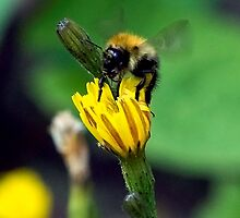 Bee On Flower 0014 by mike1242