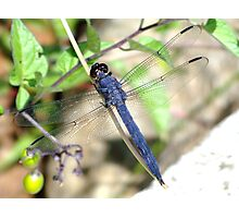 A huge male Slaty Skimmer.  Photographic Print