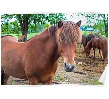 Penni the icelandic horse Poster